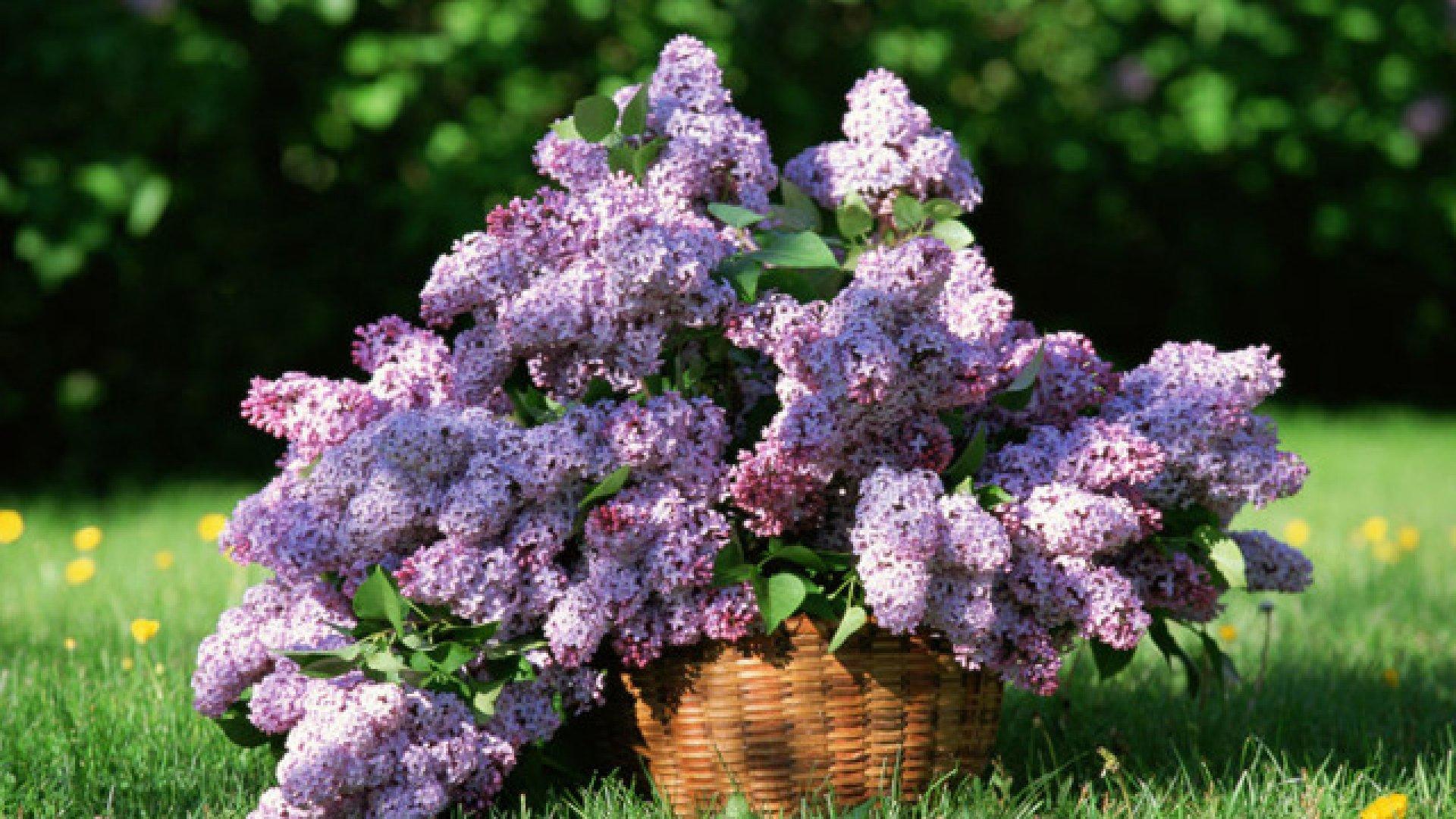 Flori de liliac pentru dureri articulare, Beneficiile florilor de liliac