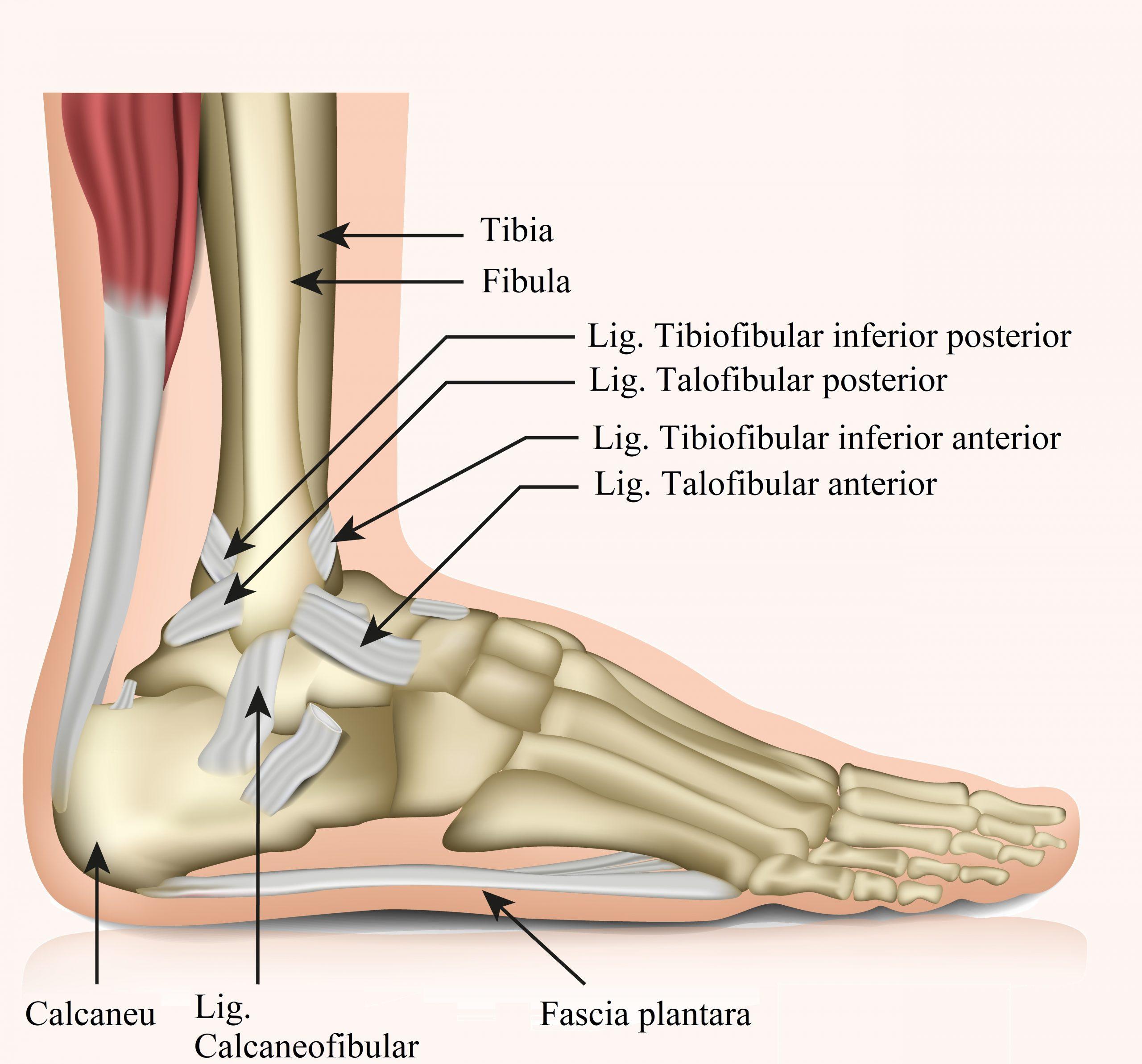 adâncit deasupra articulației piciorului ce este)