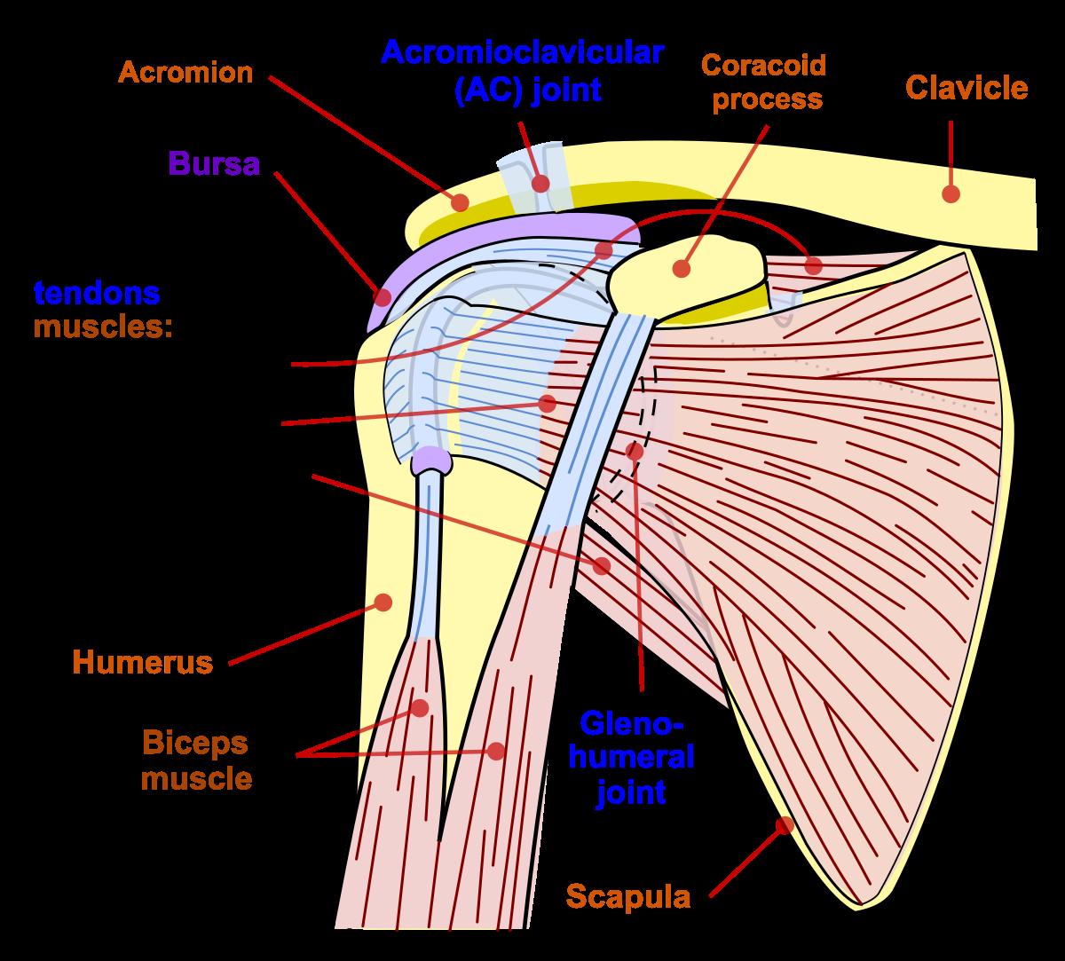 Articulațiile mobile - thecage.ro, Găsește rănile articulației umărului