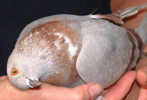 inflamație articulară într-un papagal)