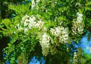 Miere naturală de salcâm, BioBee, 420 gr
