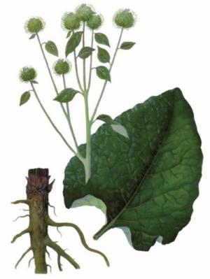 Plante medicinale pentru tratarea articulațiilor artrozei genunchiului