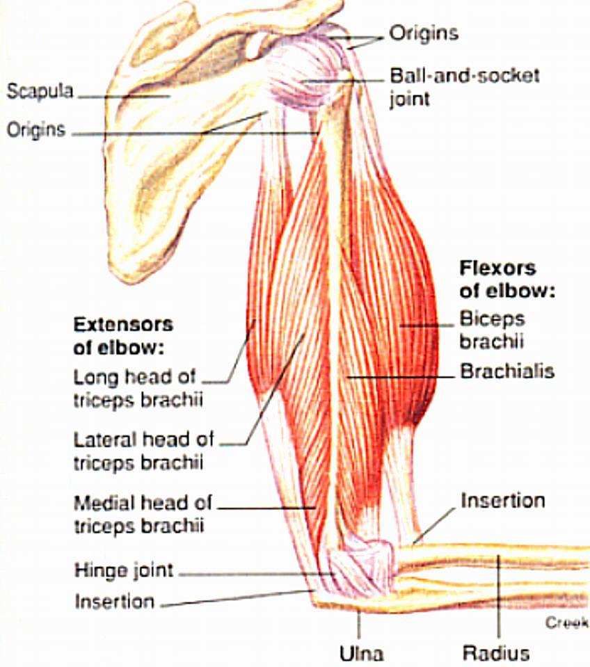 braț drept în articulație durere atunci când vă deplasați în articulațiile șoldului