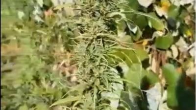 Droguri   Etnobotanice Heroina Cocaina Canabis