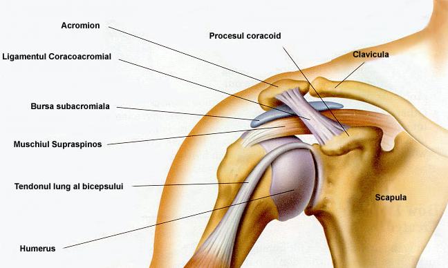 Cauze de durere la umăr creuză articulară artroză