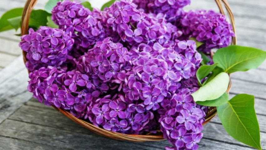 3 rețete și 7 beneficii surprinzătoare a florilor de liliac – thecage.ro
