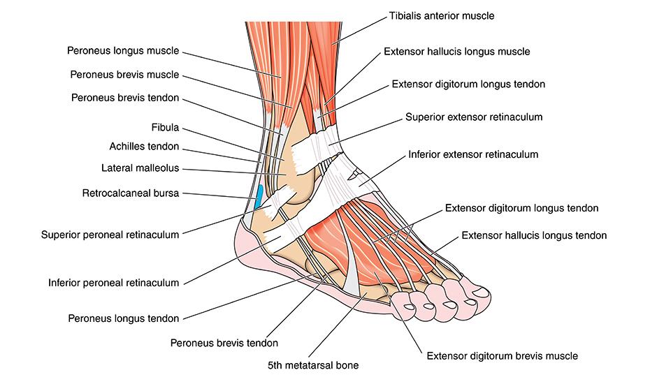 durere fizică în articulația gleznei