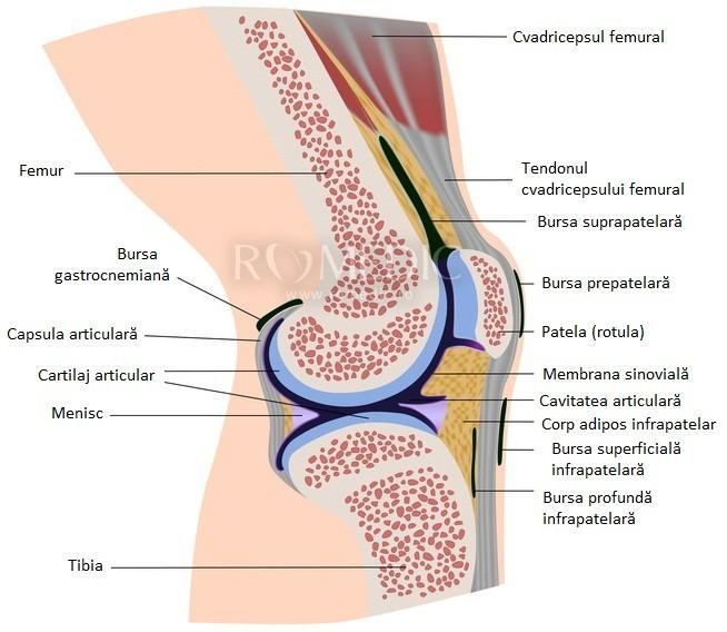 capsula articulației genunchiului subțire)