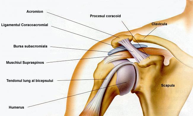 Structura articulației umărului uman